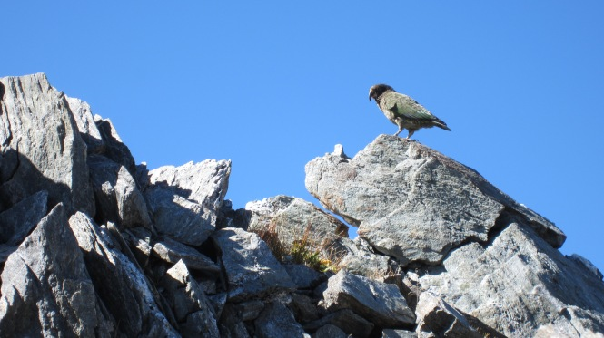 Kea at the top of the Gillespie pass (April 2012)