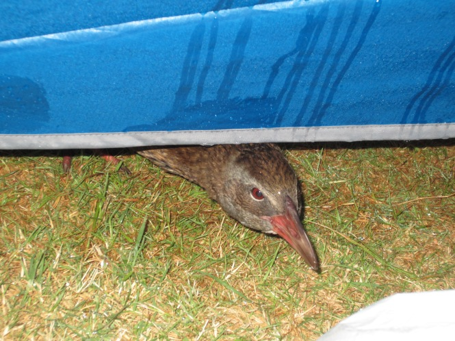 Dec 27: Sneaky weka trying to steal our chocolate