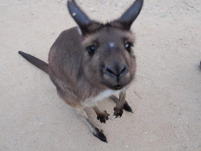 Kangaroo close-up!
